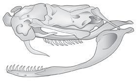 Advanced-snake-skull