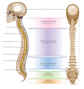 Anatomy-of-spine