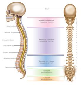 Anatomy-of-spine