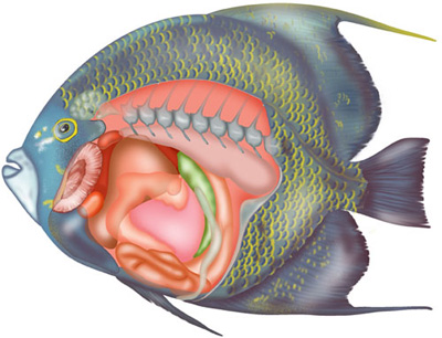 Angelfish-colour