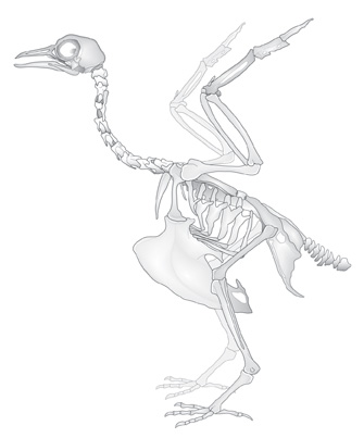 Avian-skeleton-copy