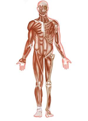 Body-musculoskeletal-anteri