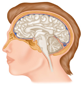 Brain-in-relation-to-skull