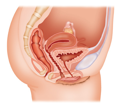 Female-reproductive-organs