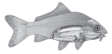 Fish-anatomy