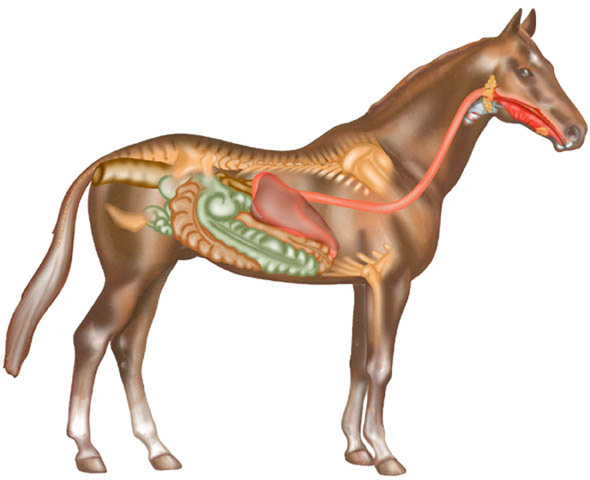 Horse-Digestive-System