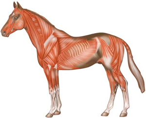 Horse-muscular-system