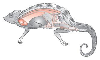 Iguana-anatomy