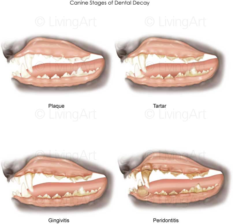 NEW-Canine-Stages-of-Dental-Decay