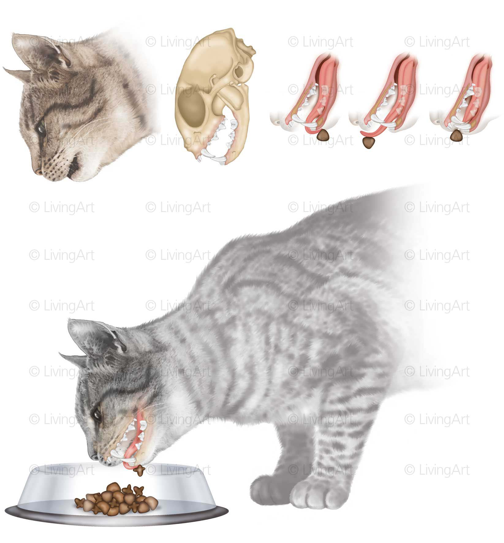 NEW-Cat-feeding-and-anatomical