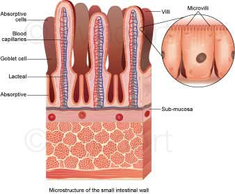 NEW-Small-intestine-wall