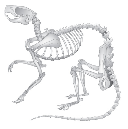 Rat-skeleton