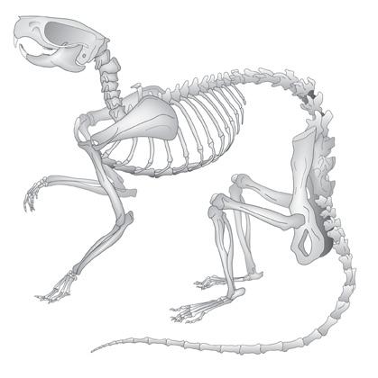 Rat-skeleton