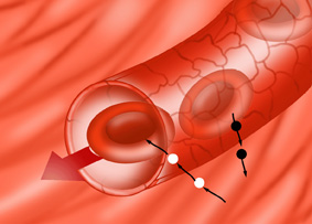 Red-Blood-cells-and-capilla