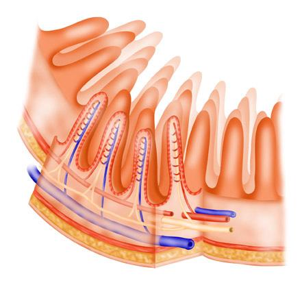 Small-intestine-wall