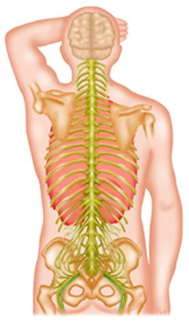 Spinal-nerves