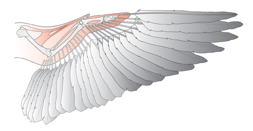 Wing-feathers-copy