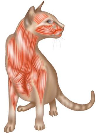 feline-cranial-muscles
