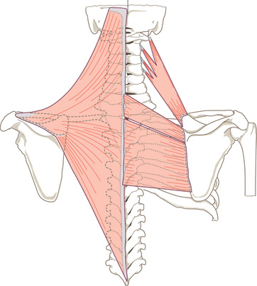 muscles-of-the-back